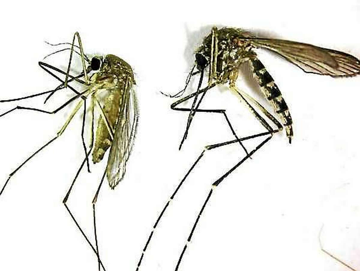 This undated photo provided by the Northwest Mosquito Abatement District shows a Culex pipiens, left, the primary mosquito that can transmit West Nile virus to humans, birds and other animals. The insect lives around stagnant water. At right is an Aedes vexans, primarily a nuisance mosquito common to fresh water. It is a very aggressive biting mosquito but not an important transmitter of disease.