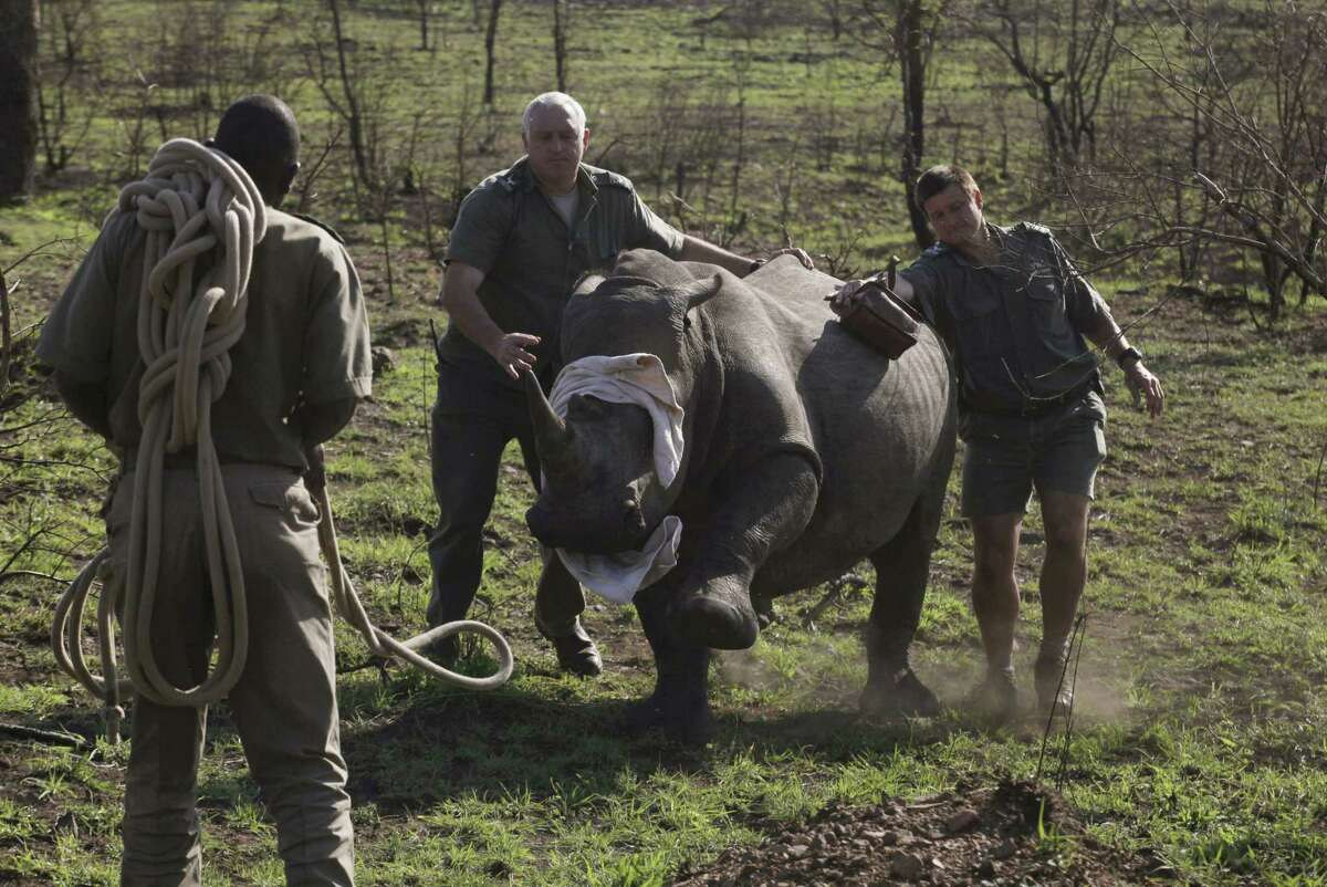 In this file photo taken Nov. 20, 2014, a darted rhino is blind-folded before being grounded for skin and blood samples to be taken, and microchipped, near Skukuza, South Africa before being transported by truck to an area hopefully safe from poachers in a bid to cut down on the numbers killed by poachers.