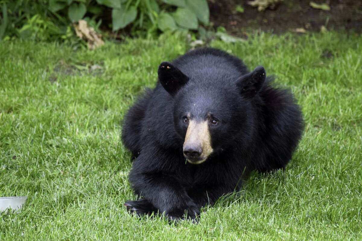 A black bear rests in his backyard in Scarborough, Maine. Complaints of nuisance bears have increased this year as dry weather conditions and the early emergence of spring conspired to bring humans into more contact with black bears in New England.