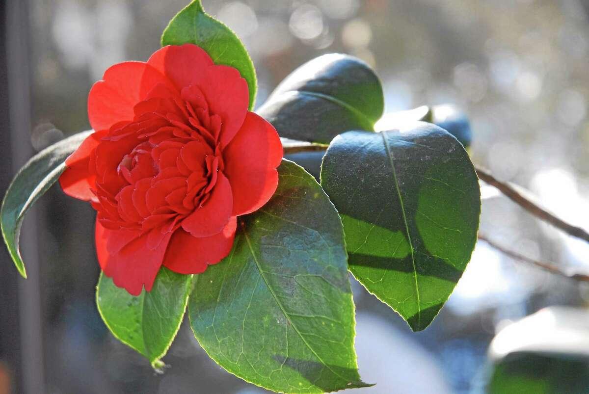 Camellia 'Professor Sargent' in residence.