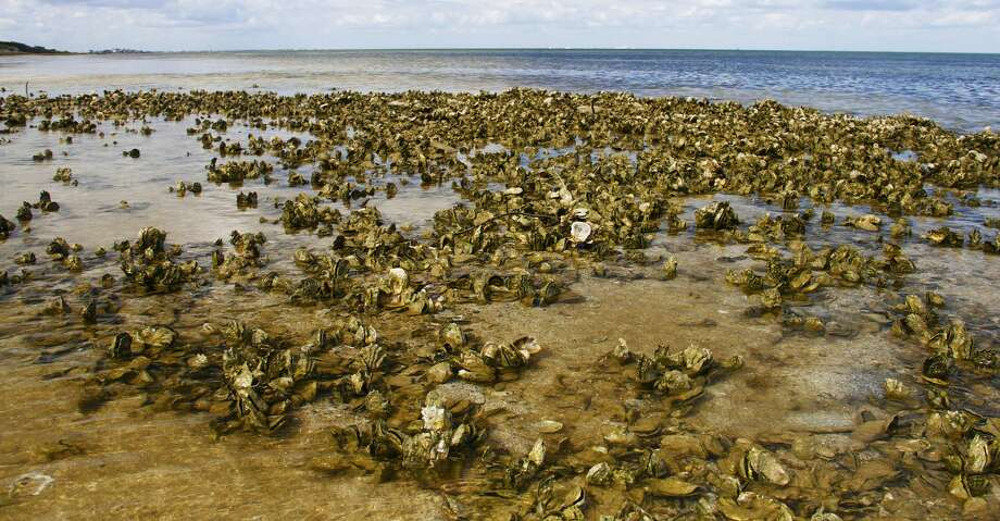 Intertidal oyster reefs, which provide crucial marine habitat and help protect bay shores from storm surges, will be off limits to commercial and recreational harvest under a package of regulation changes aimed at protecting and enhancing Texas' beleaguered oyster stocks. Photo: Shannon Tompkins/Houston Chronicle