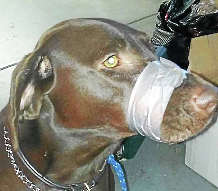 This is the photo of a dog with tape on its muzzle that sparked a social media controversy over the Thanksgiving weekend. The woman who allegedly posted the photo, Katharine Lamansky, 45, was arrested in North Carolina. Photo: Photo Via WTNH-TV