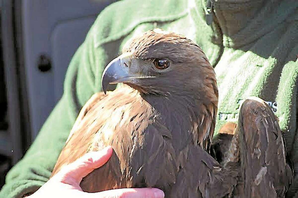 This golden eagle was successfully rehailitated and released after it was found injured by a snowmobiler.