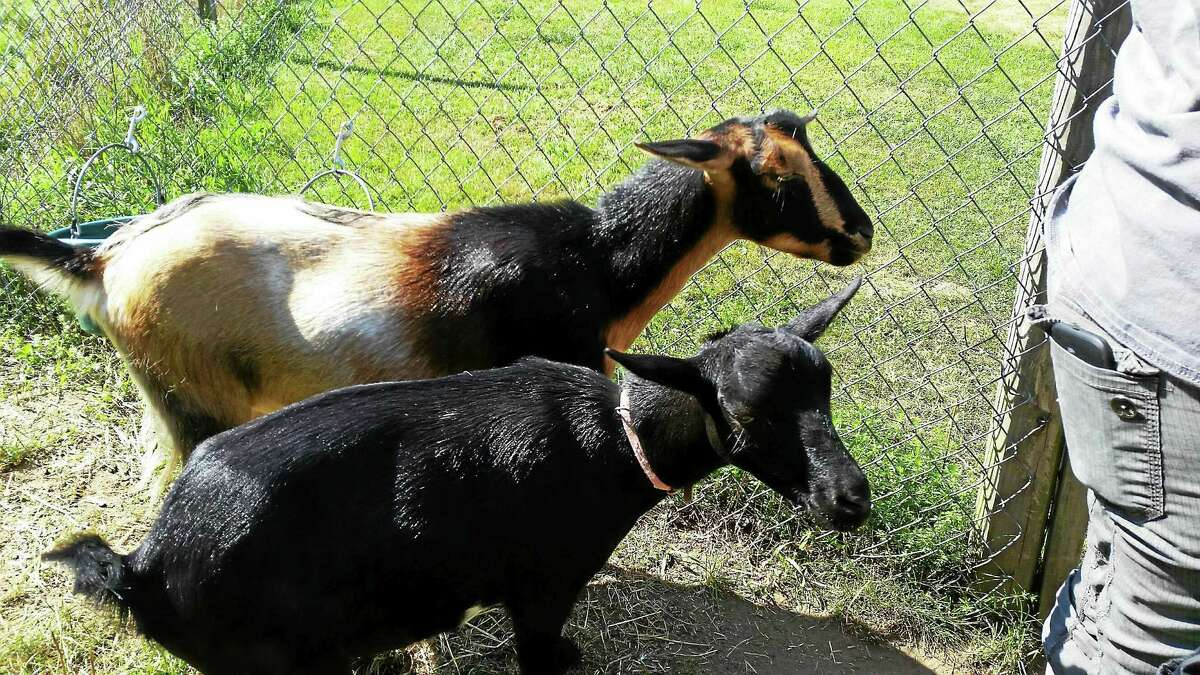 Campers at ECAD are taught how to take care of goats and make goat soap.