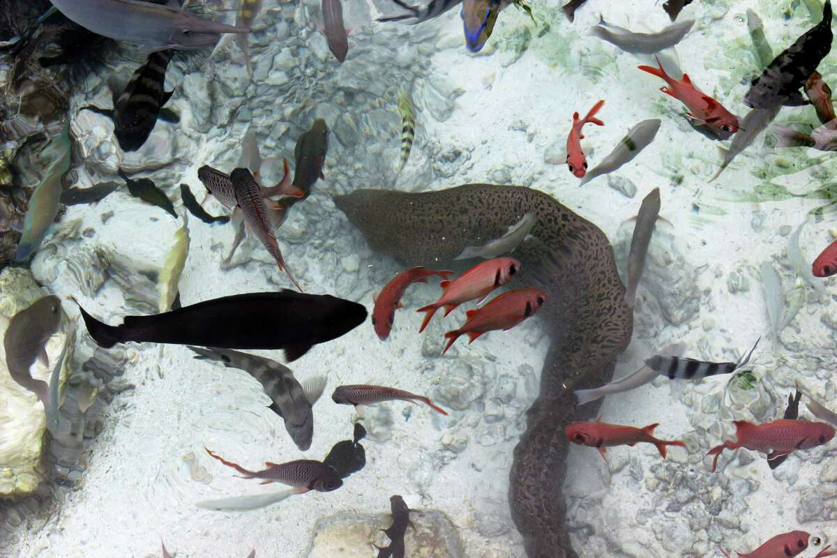 In this Nov. 3, 2015 photo, a moray eel and a variety of fish are pictured at the Turtle Center at Le Meridien resort in Bora Bora. Bora Bora offers celebrity-style seclusion and has been a vacation destination for the likes of Justin Bieber, Jennifer Aniston and Usain Bolt. It's located 160 miles from Tahiti with a balmy and relatively consistent temperature of 80 degrees Fahrenheit.