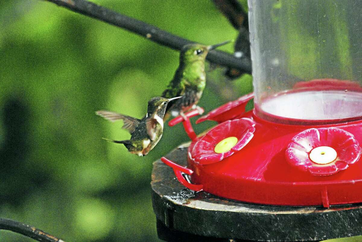Hummingbirds at a feeder. (Courtesy of Matthew Jones)