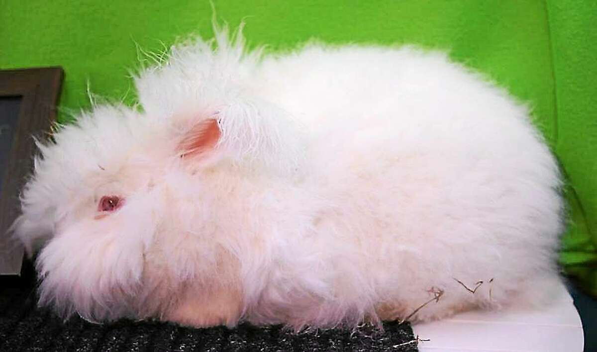 Contributed photo Easter bunnies will be making their appearance at In Sheep's Clothing, this Saturday, April 4, from 10 a.m.-2 p.m. McKayla Ford, an agricultural student from Wamogo Regional High School, will bring some of the angora bunnies that she raises at home.