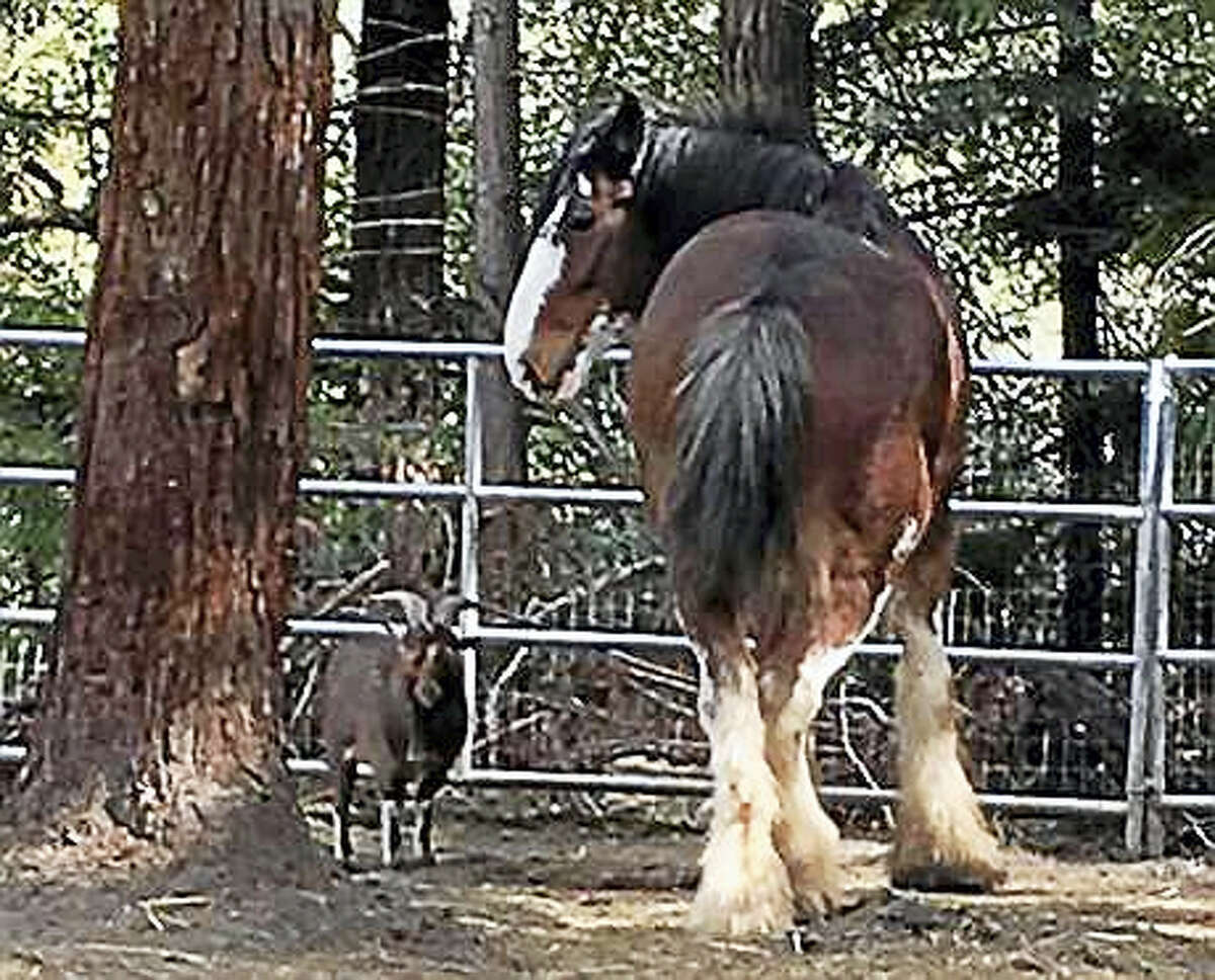This undated photo provided by Tamara Schmitz shows Clydesdale horse Budweiser with his friend, a Nigerian dwarf billy goat named Lancelot, near Santa Cruz, Calif. Budweiser was safely back in his pen Sunday, Aug. 28, 2016, in the Santa Cruz Mountains on California's Central Coast after five days on the lam. Owner Tamara Schmitz says Buddy was busted out Wednesday, Aug. 24, by Lancelot, who knows how to butt open the stable gate.