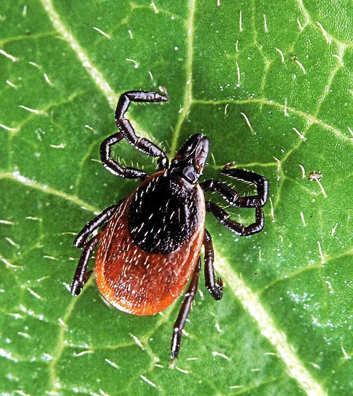 A blacked-legged, or deer, tick.