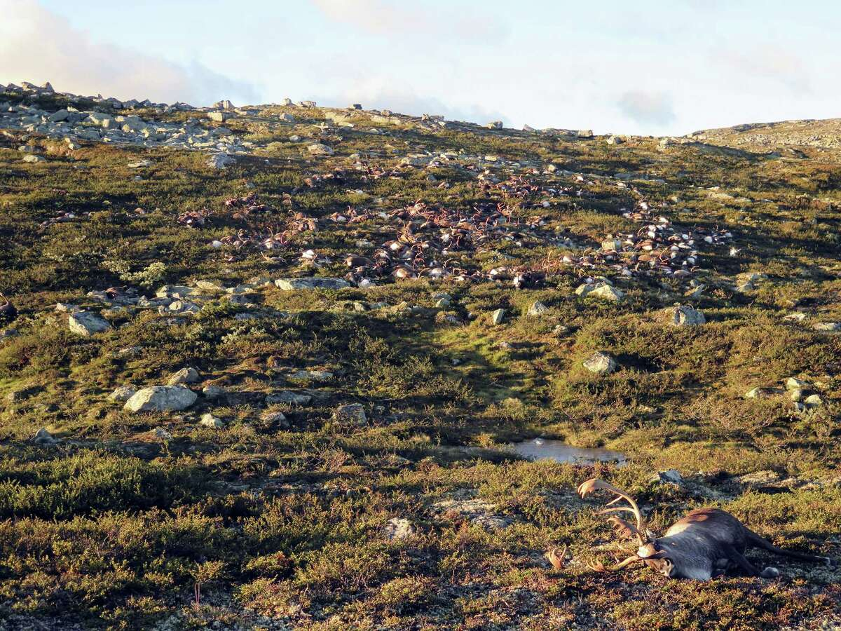 This image made available by the Norwegian Environment Agency on Aug. 29, 2016 shows some of the more than 300 wild reindeer that were killed by lighting in Hardangervidda, central Norway on Friday Aug. 26, 2016, in what wildlife officials say was a highly unusual massacre by nature.