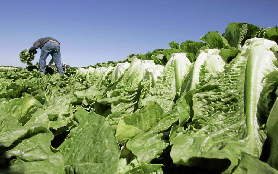 A worker harvests romaine lettuce in Salinas, Calif., in this file photo. Photo: AP / AP