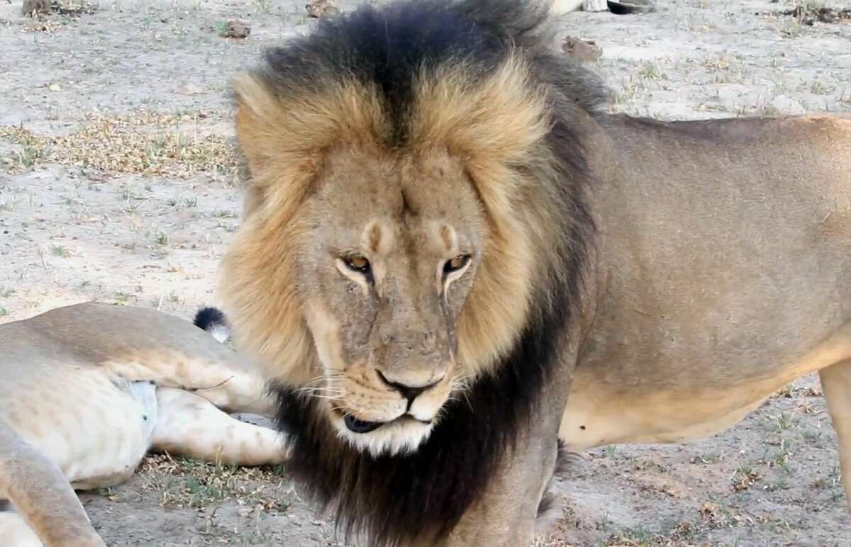 In this image takem from a November 2012 video made available by Paula French, a well-known, protected lion known as Cecil strolls around in Hwange National Park, in Hwange, Zimbabwe.