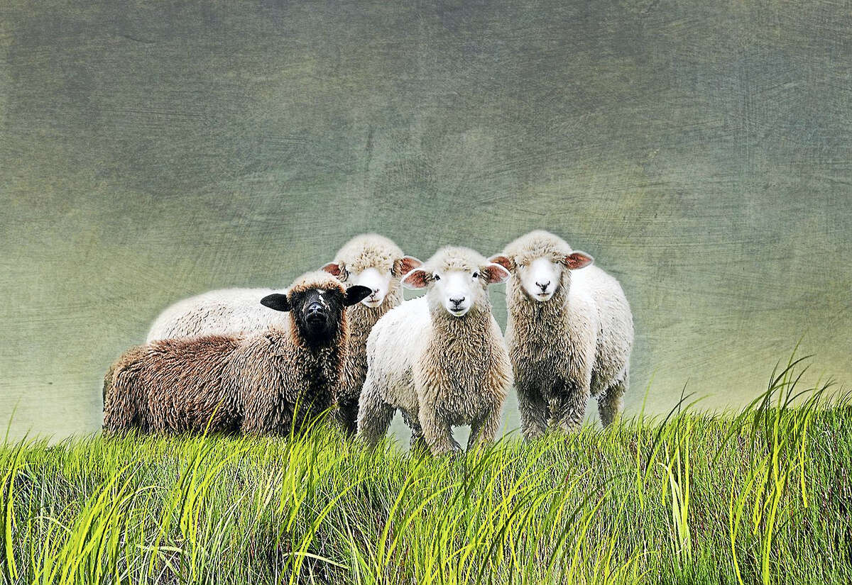 "Contributed photo Judith Secco's ""Black Sheep."""