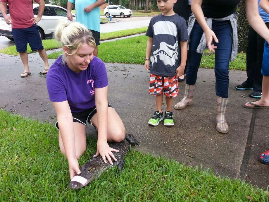 Christy Kroboth with Houston's Gator Squad was called to assist officials in the Meyerland area in retrieving a small alligator from a residence in that flood-prone neighborhood.  Photo: Christy Kroboth