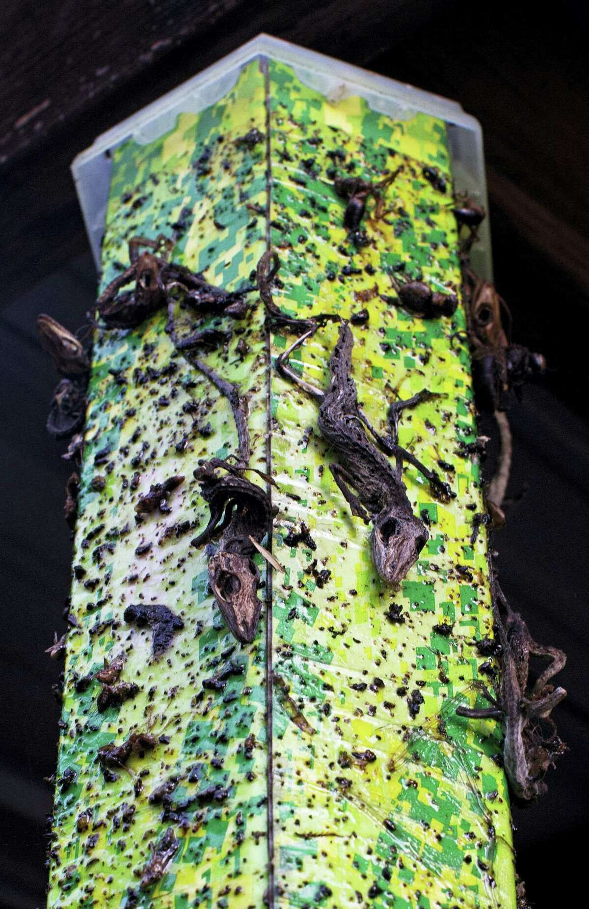 Dead lizards fleeing rising water stick to a fly trap at the home of Laura Albritton, 59, in Sorrento, La., Saturday, Aug. 20, 2016. Louisiana continues to dig itself out from devastating floods, with search parties going door to door looking for survivors or bodies trapped by flooding. (AP Photo/Max Becherer)