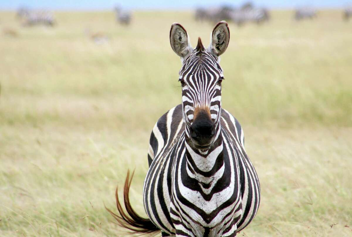 This March 7, 2016 photo shows a zebra as seen on a safari in Tanzania's Serengeti region. The safari gives tourists the opportunity to learn about animals and the landscape alongside locals who are training to be guides. The expedition teaches participants to become attuned to the sights and sounds of nature, rather than just going along for the ride and the photo opportunities.