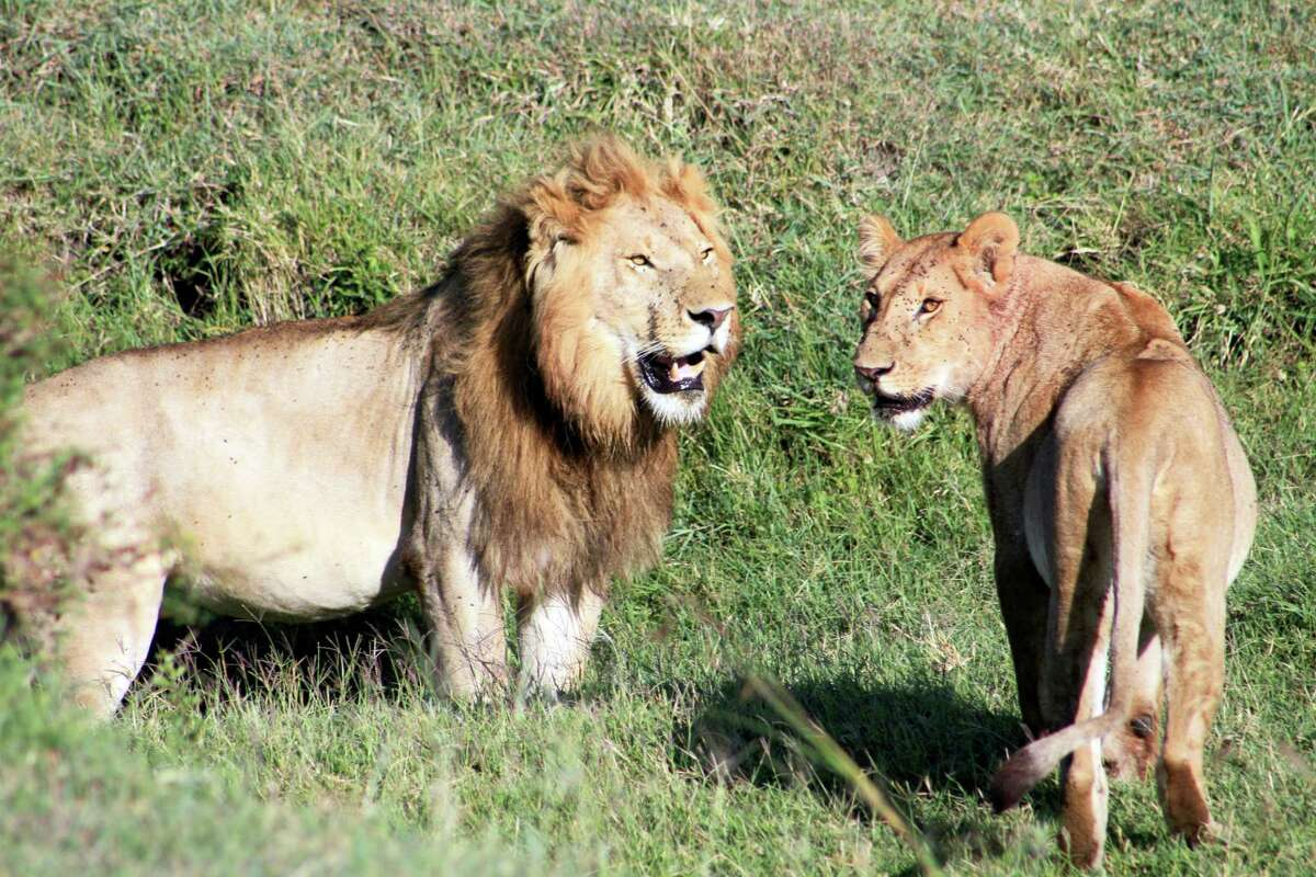 This March 6, 2016 photo shows lions as seen on a safari in Kenya's Tanzania's Serengeti region. The safari gives tourists the opportunity to learn about animals and the landscape alongside locals who are training to be guides.
