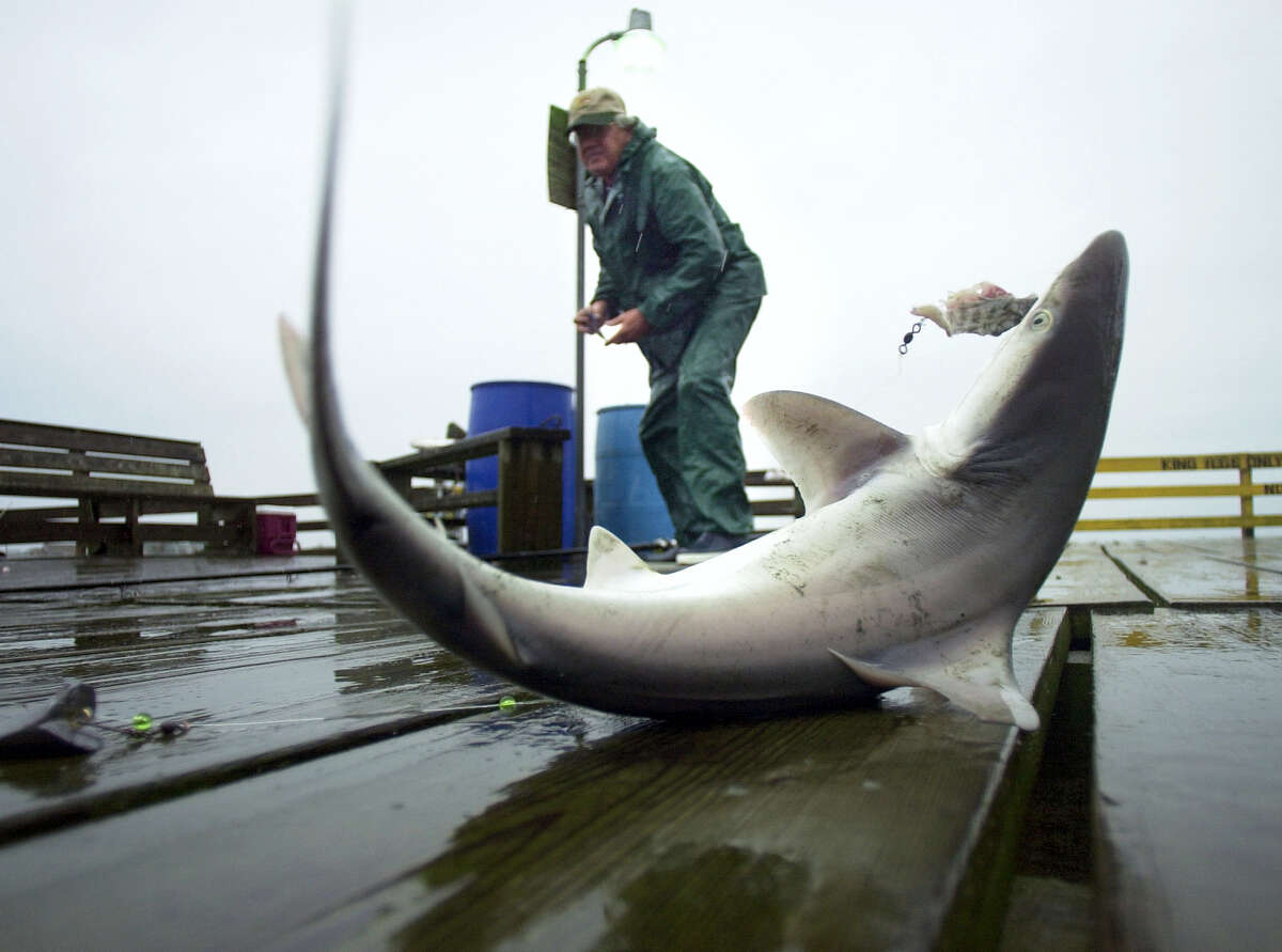 In 2003, a small dusky shark flails on the end of the Avalon Fishing Pier in Kill Devil Hills, N.C., as angler Ron Warlick gets ready to remove the hook. A group of conservationists say a federal plan to protect this threatened shark that lives in East Coast waters doesn't go far enough. The National Marine Fisheries Service is proposing changes to federal fishing rules with the goal of protecting dusky sharks.