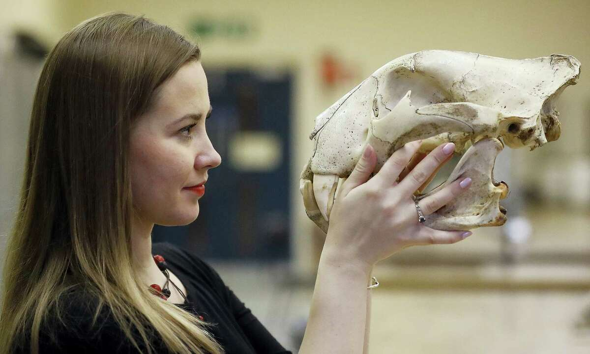 In this photo taken Friday, Dec. 2, 2016, university lecturer Joanna Bagniewska looks at a tiger skull at the Zoology department of the University of Reading in England. Like many foreign scientists in Britain, Joanna Bagniewska was devastated when Britons voted to leave the European Union. The biology lecturer, a Polish migrant who found Britain a welcoming place to build her academic career over a decade, is suddenly seeing her job security and research prospects up in the air.