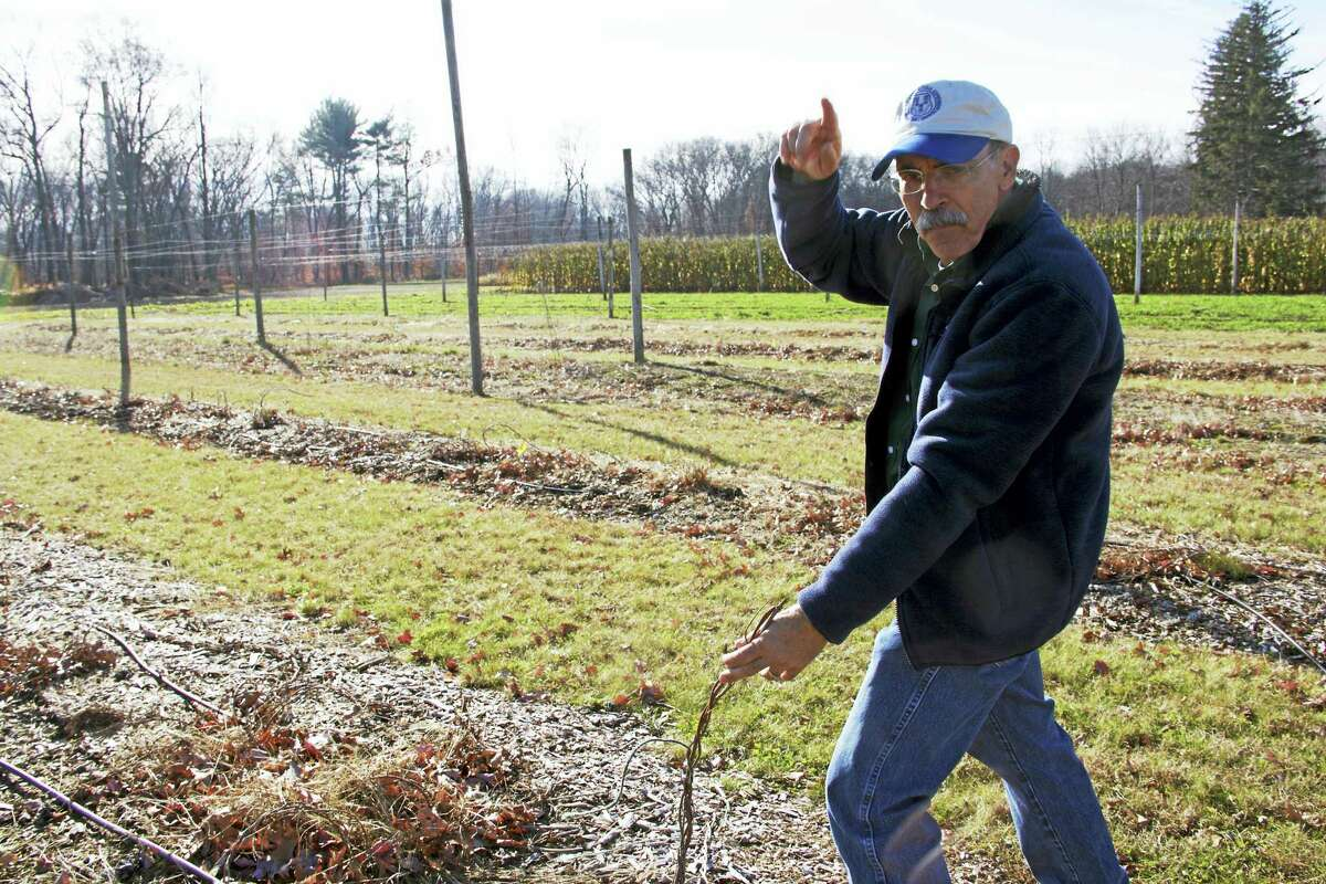 James Lamondia, a chief scientist at the CAES, talks about how hop plants grow vertically in the summer time. Now, due to colder temperatures, the plants are dormant. New vines will begin to sprout in the spring.