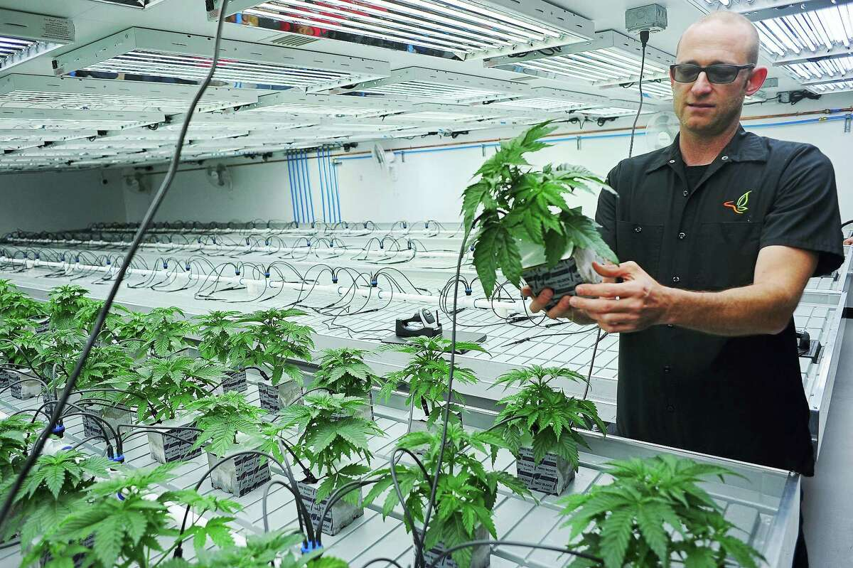 In a photo, Jonathan Hunt, vice president of Monarch America Inc., shows a marijuana plant while giving a tour of the Flandreau Santee Sioux Tribe's marijuana growing facility, in Flandreau, S.D.