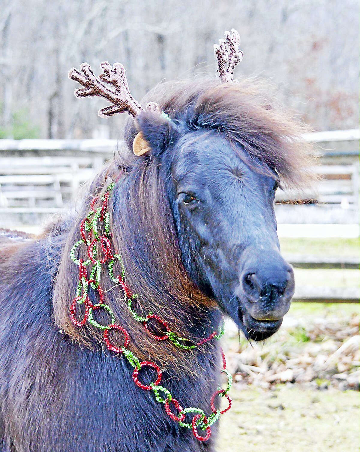Contributed photo A little horse is dressed up for Christmas, in preparation for H.O.R.S.E. of Connecticut's Christmas open house on Saturday, Dec. 10.