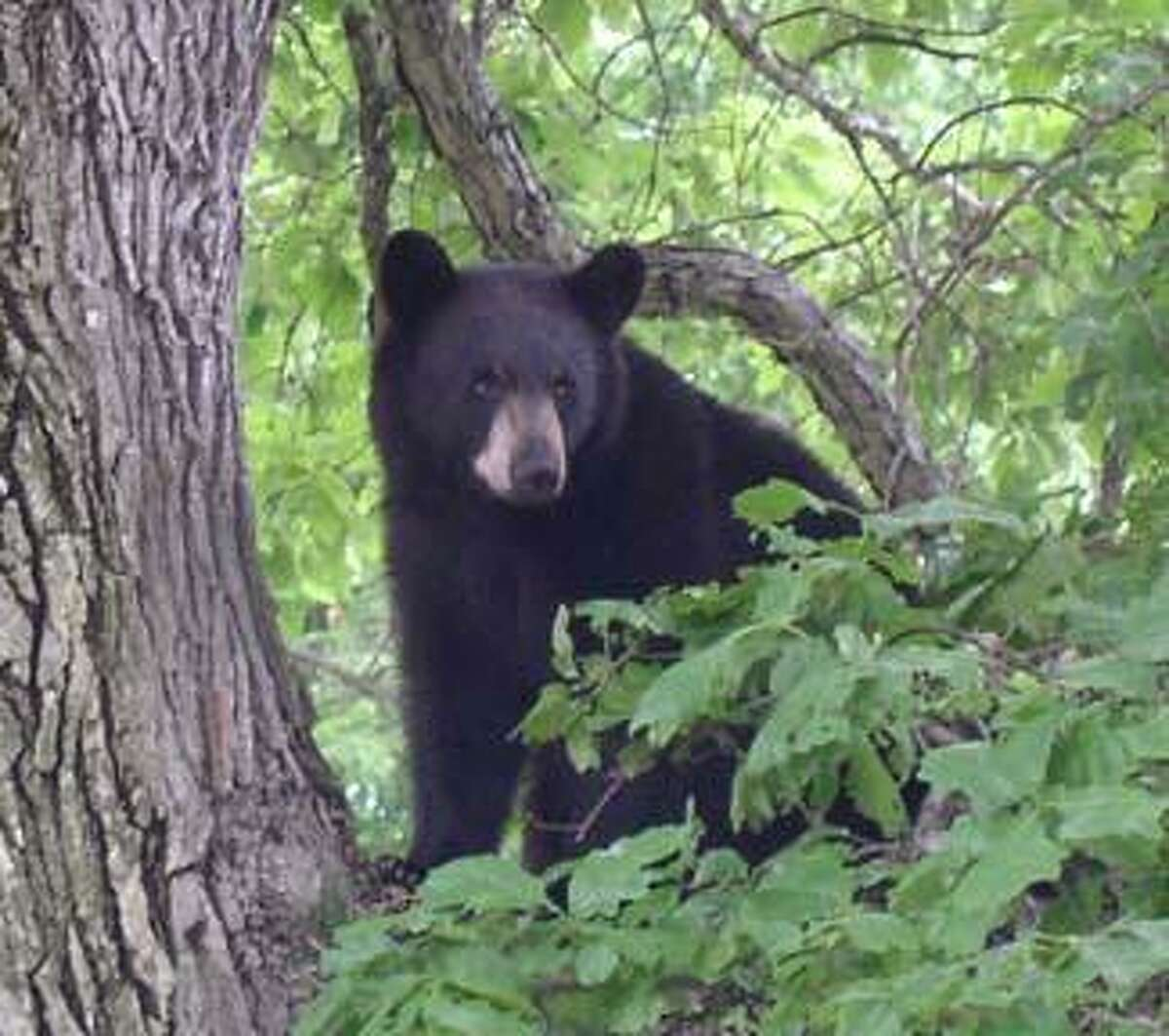 The state continues to get reports of black bear sightings. On Sunday, Aug. 27, the Easton Police Department reportedon its Facebook page that a bear had been seen in town. Photo courtesy of the Connecticut Department of Energy and Environmental Protection web site.