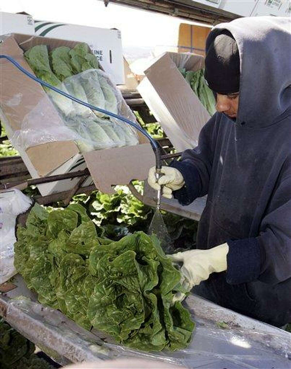 FILE - In this Thursday, Aug. 16, 2007 file photo, a lettuce worker washes romaine lettuce in Salinas, Calif. Leafy green vegetables were the leading source of food poisoning over an 11-year period, federal health officials say, Tuesday, Jan. 29, 2013. However, the most food-related deaths were from contaminated chicken and other poultry. (AP Photo/Paul Sakuma, File)