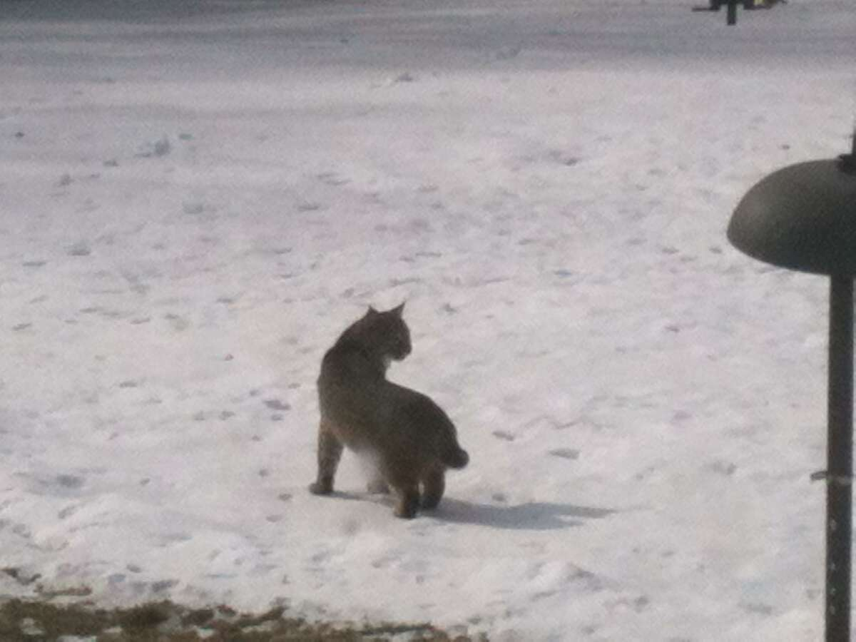 A bobcat was spotted in a yard in Harwinton on Friday, Jan. 25, 2013. Photo by Barb Siani.