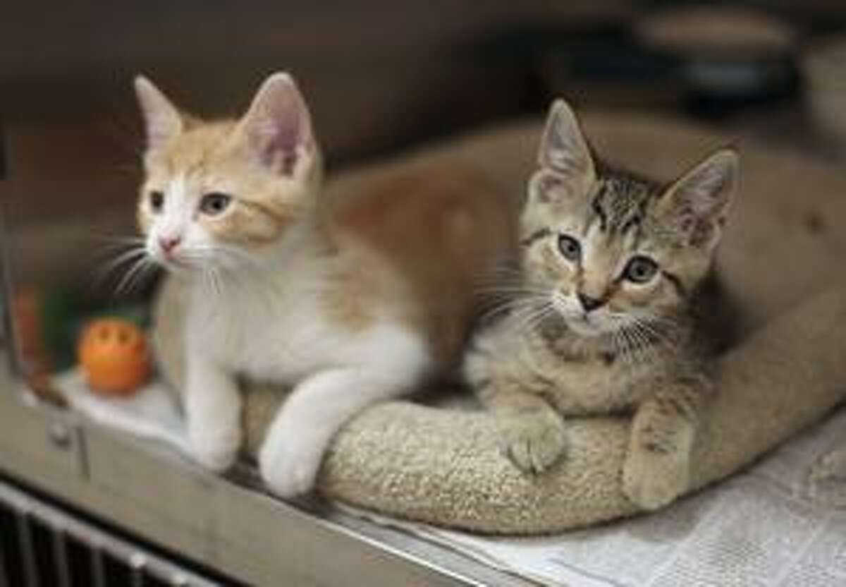 Neither of these kittens is the one on which a botched neutering was done. This photo is part of an American Society for the Prevention of Cruelty to Animals campaign to get pets spayed, by a licensed veterinarian.