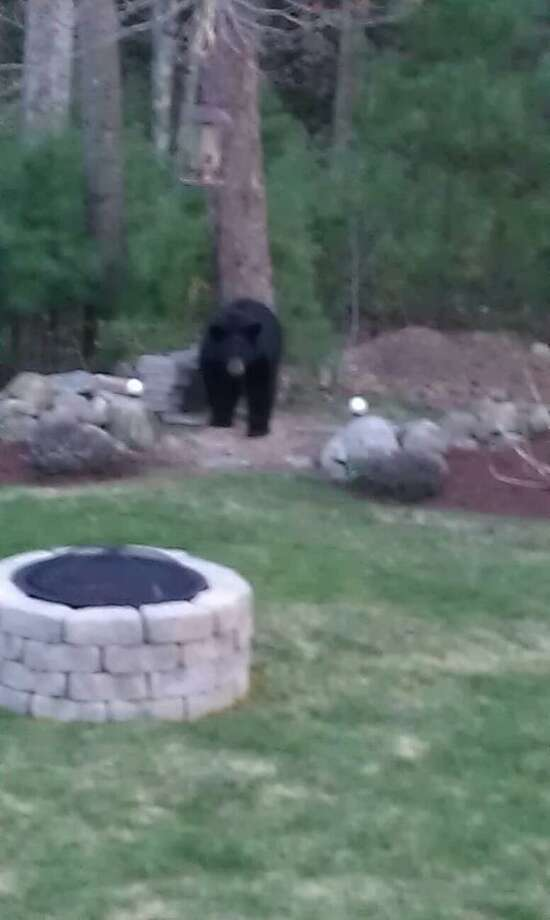 Bear spotted at Arbor Ridge in Torrington. CONTRIBUTED PHOTO.