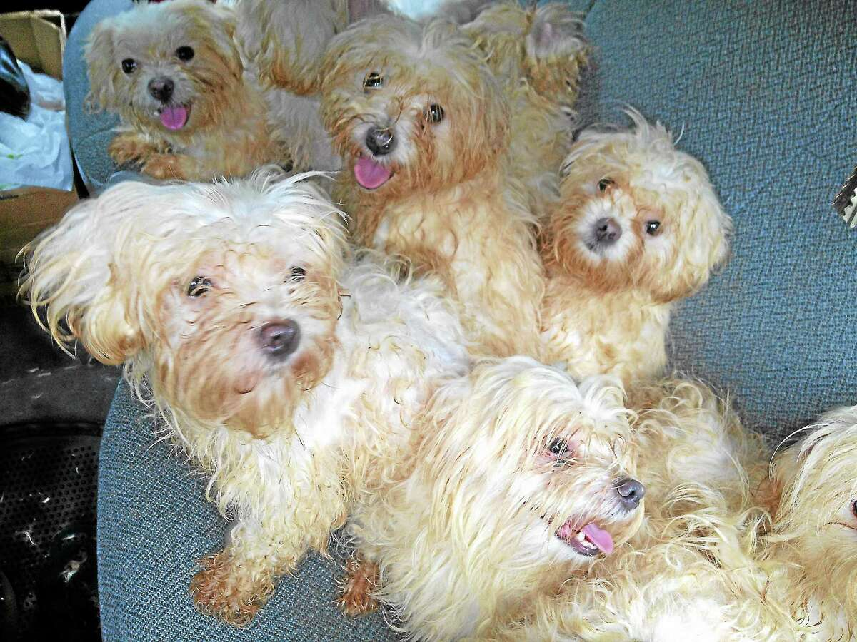 Some of the Maltese that were surrendered from Sept. 1-3, as they are being transported to the Little Guild.