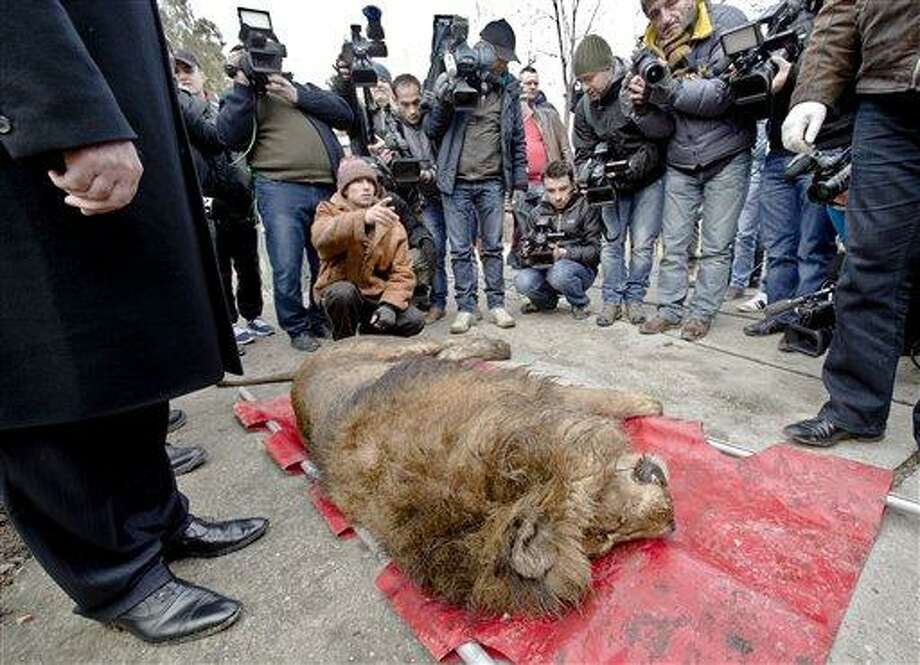 A sedated lion is surrounded by media at the estate of Ion Balint, known to Romanians as Nutzu the Pawnbroker, a notorious gangster, in Bucharest, Romania, Wednesday, Feb. 27, 2013. Authorities along with specialists of the animal welfare charity Vier Pfoten removed four lions and two bears that were illegally kept on the estate of one of Romania's most notorious underworld figures who reportedly used them to threaten his victims. Balint was arrested on Feb. 22, with dozens of others on charges of attempted murder, depriving people of their freedom, blackmail and illegally holding arms.(AP Photo/Vadim Ghirda) Photo: AP / AP