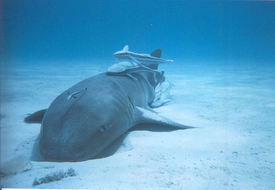 Nurse shark with remoras. The adhesive properties of remoras could have many applications, including surgical tools, wound closures and painless bandages. (Wikimedia Commons) Photo: SLATE / SLATE
