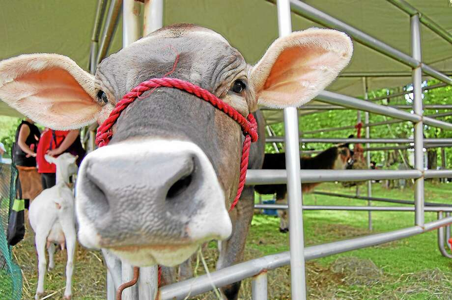 A cow pokes its head between bars at Cornwall's 22nd-annual Agricultural Fair's petting zoo on Saturday. Photo: Mercy Quaye—Register Citizen
