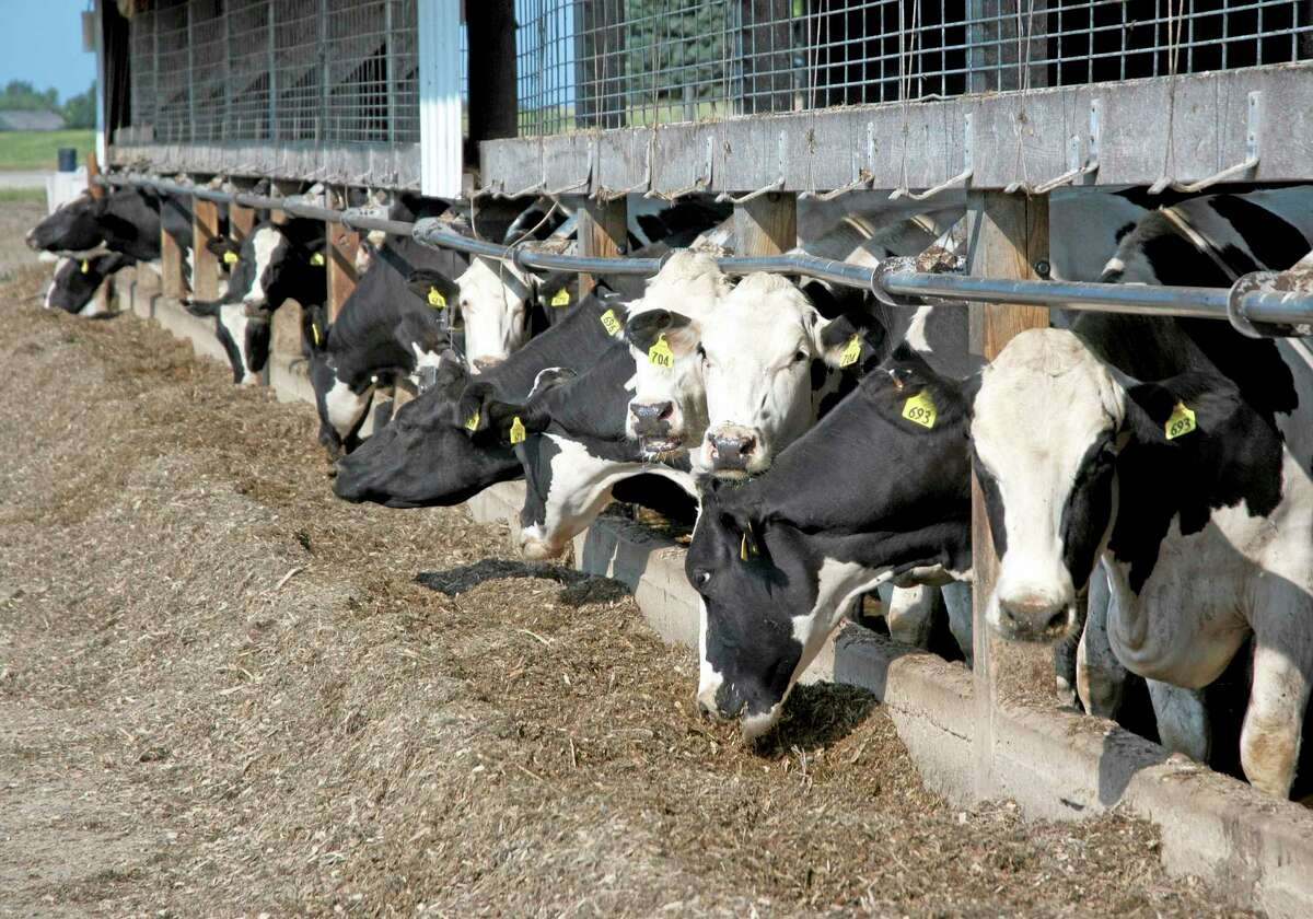 This July, 2012, photo provided by the U.S. Department of Agriculture, Trade and Consumer Protection, shows cows with ear tags at a dairy farm in Lake Mills, Wis. The federal government has launched a new livestock identification program to help agriculture officials to quickly track livestock in cases of disease. In most cases, farmers and ranchers are likely to use ear tags that assign a number to each animal. (AP Photo/U.S. Department of Agriculture, Laurie Lawrence)