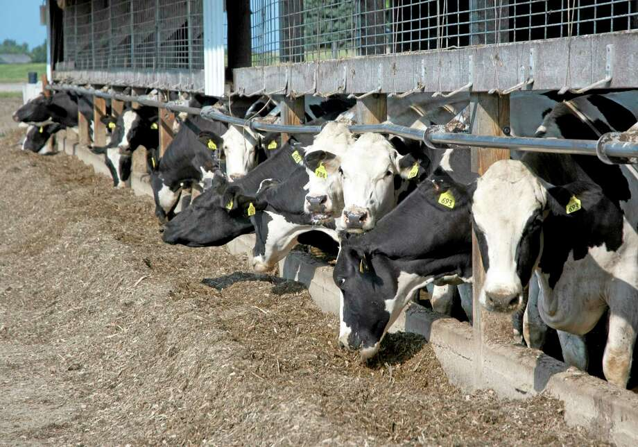 This July, 2012, photo provided by the U.S. Department of Agriculture, Trade and Consumer Protection, shows cows with ear tags at a dairy farm in Lake Mills, Wis.  The federal government has launched a new livestock identification program to help agriculture officials to quickly track livestock in cases of disease. In most cases, farmers and ranchers are likely to use ear tags that assign a number to each animal.  (AP Photo/U.S. Department of Agriculture, Laurie Lawrence) Photo: AP / U.S. Department of Agriculture