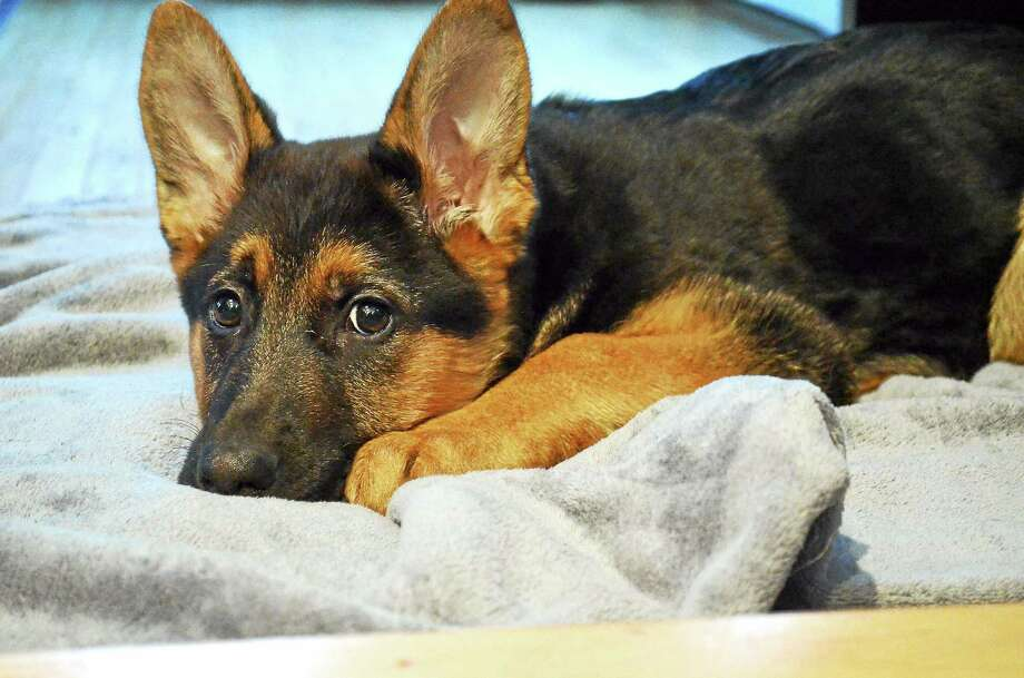 Olivia, an 11-week-old German Shepherd pup, went missing and Torrington Police found her and returned her to her owners, Tony and Wendy Pernerewski of Torrington. Photo: John Berry — Register Citizen