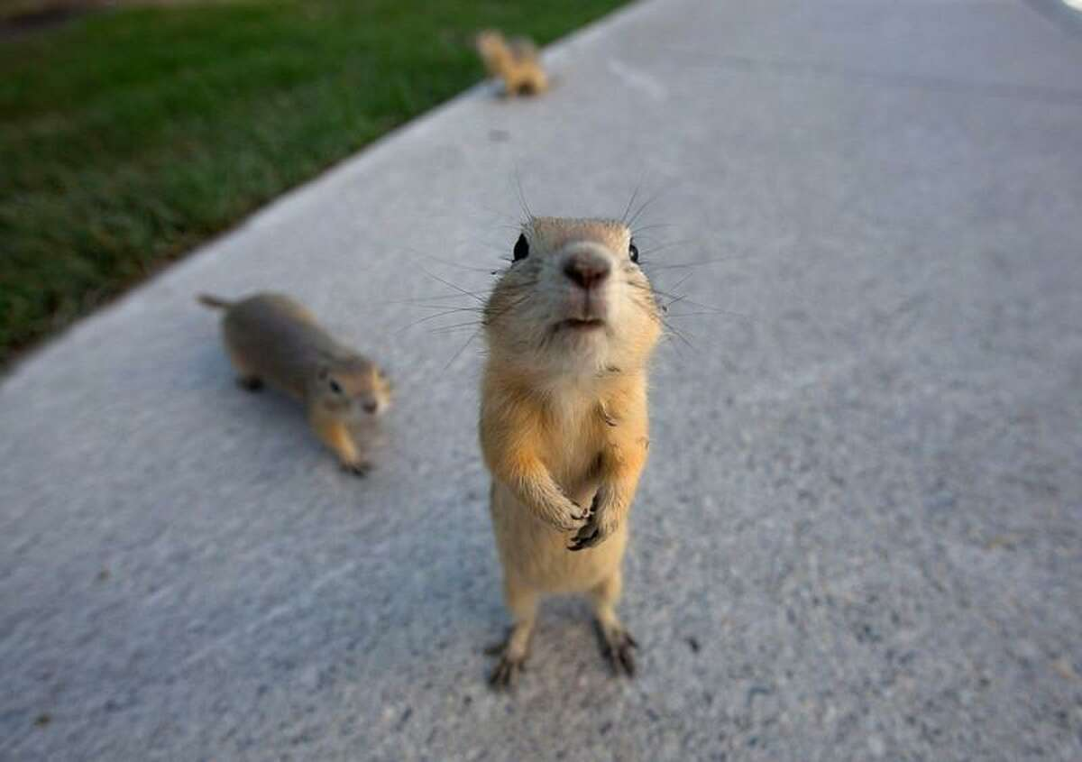 Gophers on the city sidewalks after their burrows were flooded in Calgary, Alberta June 22, 2013. REUTERS/Todd Korol