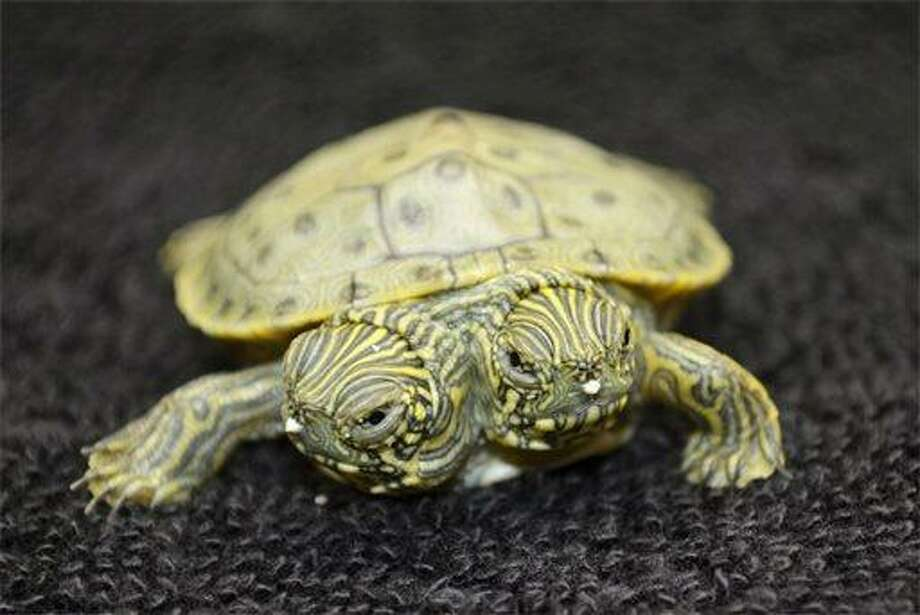Thelma and Louise, a two-headed Texas cooter turtle, is seen in an undated photo provided by the San Antonio Zoo. Zoo officials on Tuesday, June 25, 2013 said the Texas cooter was born June 18. The turtle was one of several Texas cooters born this month at the zoo but the only one with two heads. The unusual turtle will go on display Thursday at the zoo's Friedrich Aquarium. (AP Photo/San Antonio Zoo) Photo: AP / San Antonio Zoo