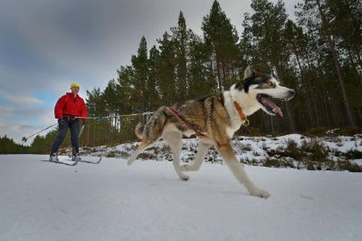 Tim Suggars skies behind a husky during practice for the Aviemore Sled Dog Rally on January 23, 2013 in Feshiebridge, Scotland. Huskies and sledders prepare ahead of the Siberian Husky Club of Great Britain 30th anniversary race taking place this weekend near Aviemore.