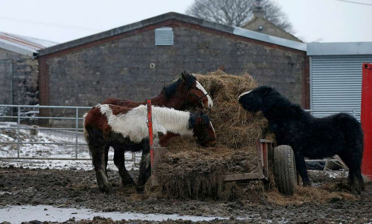 Horses stand in a field next to the Peter Boddy Licensed Slaughterhouse, in Todmorden, northern England February 13, 2013. British police and regulators raided a slaughterhouse and a meat processor on Tuesday suspected of selling horse meat as beef, expanding a Europe-wide scandal that has shocked consumers and exposed flawed food safety controls. REUTERS/Phil Noble
