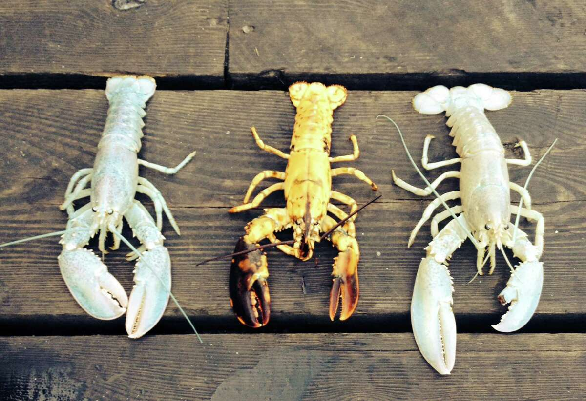 In this photo provided by Owls Head Lobster Company, two rare albino lobsters flank a rare yellow lobster on a deck Friday in Owls Head, Maine. The Portland Press Herald reports Bret Philbrick caught the curious crustacean off of Owls Head on Thursday and Joe Bates caught one off the Rockland breakwater days earlier. Albino lobsters are believed to be about one in 100 million.