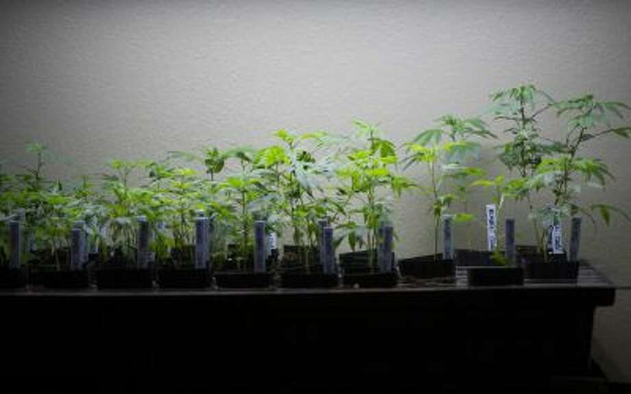 A seminar drawing several hundred prospective pot retailers, growers and processors is among a handful that the Washington State Liquor Control Board plans to help them get business licenses. Shown, plants being grown in February at a medical marijuana dispensary, in San Jose, Calif.