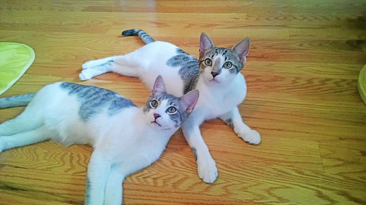 Two adorable male neutered siblings - kittens, tabby mixes, gorgeous eyes, adorable, playful, so well behaved, healthy, sweetest and loving. They are approx. 4 months old. Prefer to keep together. To meet them you will fall in love. They are in need of a reliable foster home until placed, everything provided. PET PROTECTORS 203 330 0255 www.petprotectorsrescue.org email - contactus@petprotectorsrescue.org