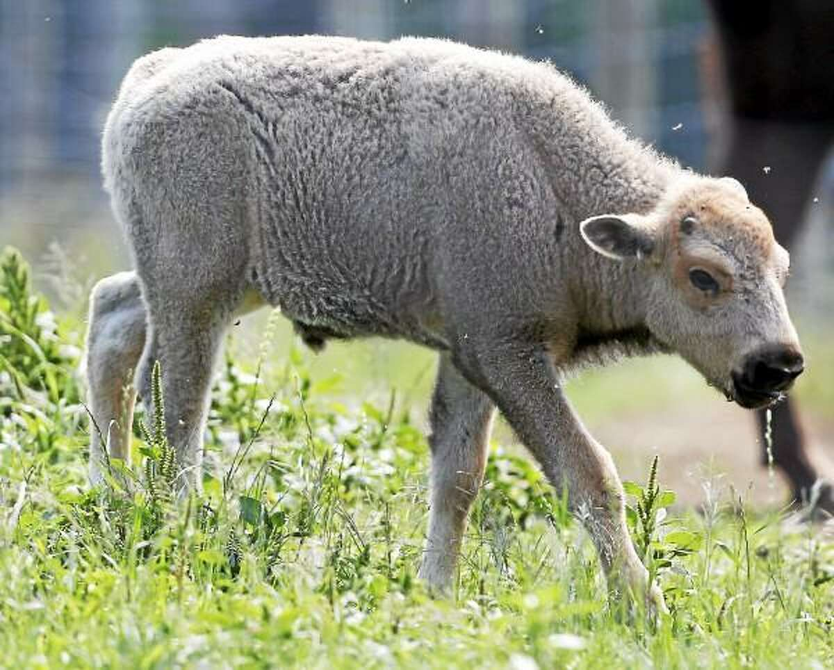 FILE - In this July 18, 2012 file photo, a white bison calf walks in a field at the Mohawk Bison farm in Goshen, Conn. As his one-year birthday approaches on June 16, 2013, the white bison's coat has now turned brown. (AP Photo/Mike Groll, File)