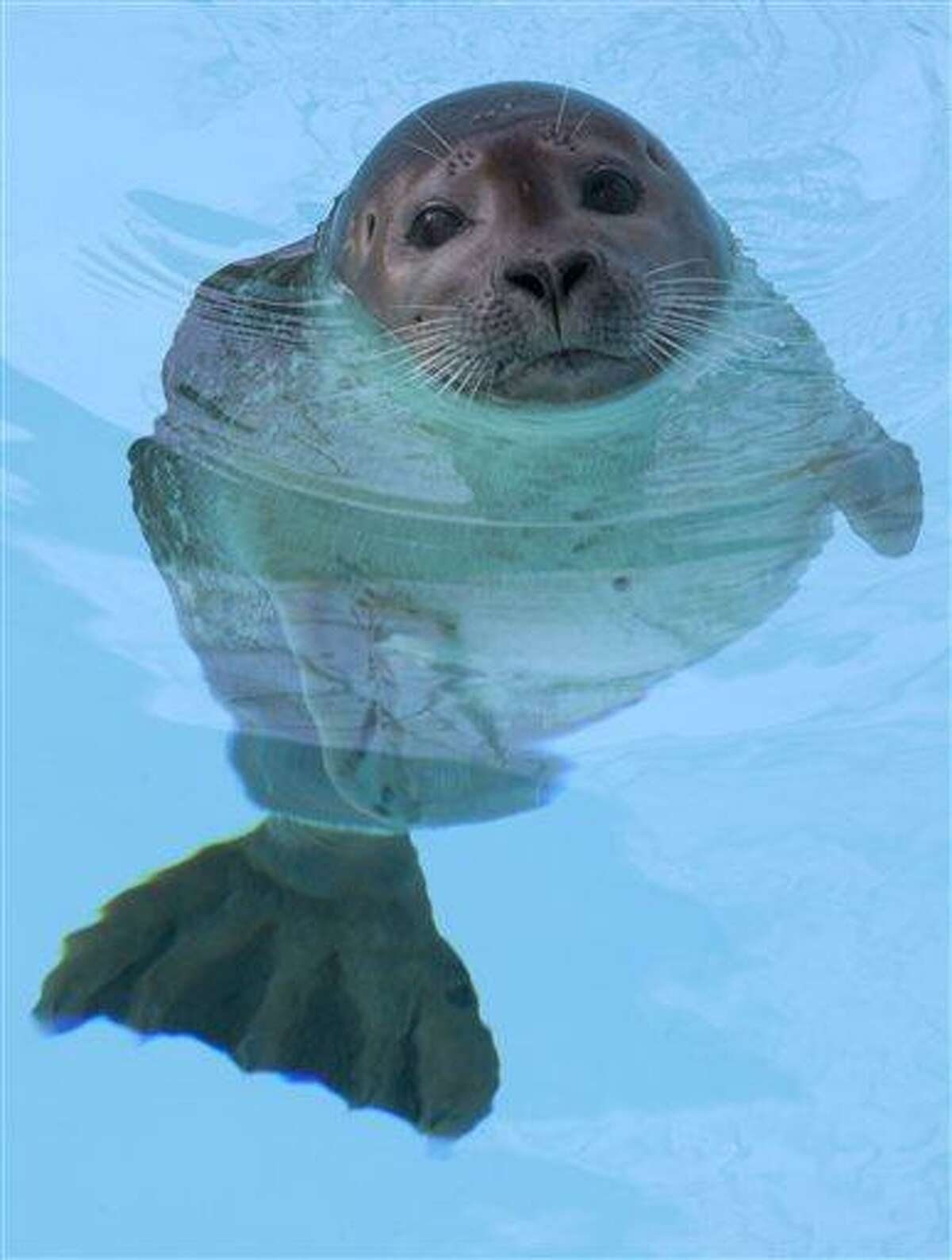 In this Wednesday, March 27, 2013 photo, an 8-month old female harbor seal, known as Pup 49, swims in a pool at Mystic Aquarium in Mystic, Conn. The pup, rescued in July 2012 on a beach in Plymouth, Mass., was taken to Mystic for treatment, where veterinarians amputated one of her two hind flippers to prevent an infection from spreading throughout her body. (AP Photo/Rodrique Ngowi)