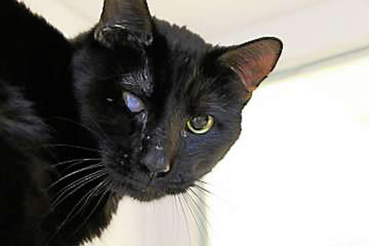 This is Sylvester, a two-year-old, black male feline who is waiting for a second chance. Black kitties may instill a bit of superstition and sometimes this makes it difficult to adopt them out. Sylvester is not only black, but his eyes are not perfect in comparison to our other cats. We are hoping to find a family who will connect on a deeper level with Sylvester. He can be a little shy to start; he takes a bit of time to warm up, but when he does, heís putty in your hands. He simply needs some time, love and attention. Sylvester would prefer to live with kids 12+ that are cat-savvy. He is also accustomed to sharing his home with other cats, but Sylvester has not met any other dogsÖyet and we could test for this here at the humane society. Please come to Newington to visit with this awesome guy. Remember, Connecticut Humane Society has no time limits for adoption. Inquiries for adoption should be made at the Connecticut Humane Society located at 701 Russell Road in Newington or by calling (860) 594-4500 or toll free at 1-800-452-0114.