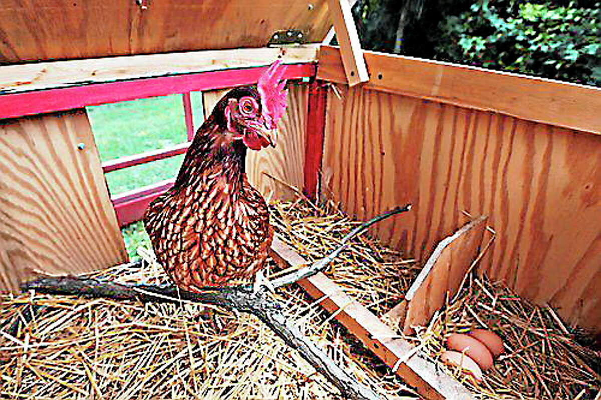 A chicken stands by three eggs in a portable chicken coop owned by Sandy Schmidt, in Silver Spring, Md. (Charles Dharapak/The Associated Press)