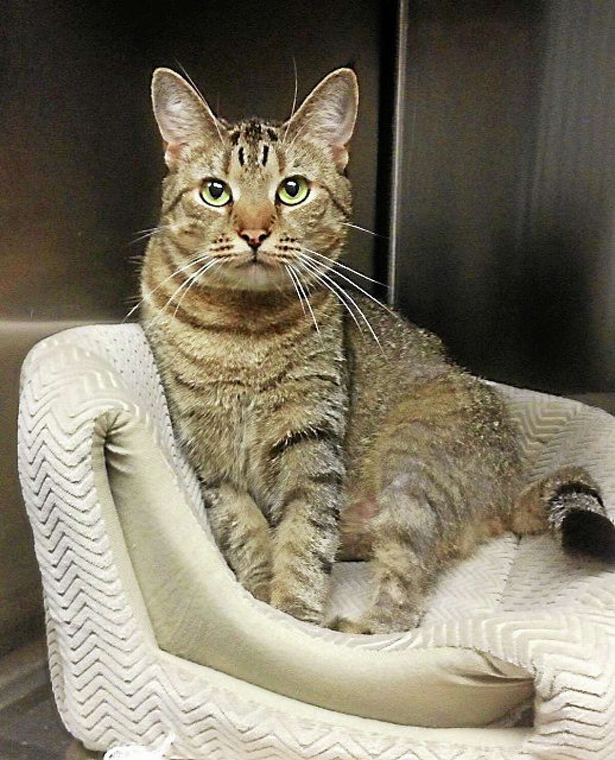 MARVELOUS MADDIE Maddie, a 2-year-old brown /gray tabby mix female spayed cat, is a bit petite, short haired, with pretty green eyes. She's playful, affectionate, loving, healthy, likes everyone, loves attention and is a real sweetheart. She would be fine with another cat that is good with cats also. She has so much love to give back. Maddie is in need of a reliable foster home until placed, everything provided. Learn more on our Foster Care Program or adoption from Pet Protectors by calling 203-330-0255, visit www.petprotectorsrescue.org or email contactus@petprotectorsrescue.org.
